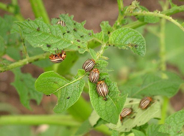 parazit rostlin