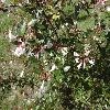 AbeliaGrandiflora2.jpg 1024 x 768 px 220.79 kB