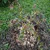 AbeliaGrandiflora.jpg 1219 x 914 px 429.07 kB