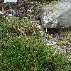 AbeliophyllumDistichum3.jpg 720 x 960 px 558.9 kB