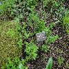 AbeliophyllumDistichumRoseum.jpg 1204 x 903 px 435.51 kB