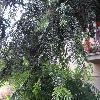 AbiesAlba3.jpg 1167 x 875 px 338.93 kB