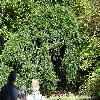 AbiesAlbaPendula2.jpg 1219 x 914 px 520.69 kB