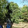 AbiesAlbaPendula.jpg 681 x 908 px 285.84 kB