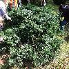 AbiesAmabilisSpreadingStar2.jpg 1219 x 914 px 482.02 kB