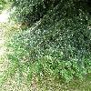 AbiesCephalonica4.jpg 1127 x 845 px 351.03 kB