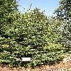 AbiesCephalonica.jpg 576 x 768 px 201.79 kB