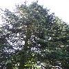 AbiesConcolor2.jpg 681 x 908 px 428.1 kB