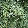 AbiesConcolor4.jpg 1024 x 768 px 280.6 kB