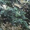 AbiesConcolor5.jpg 1024 x 768 px 301.71 kB