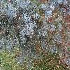 AbiesConcolorViolacea.jpg 1219 x 914 px 373.75 kB