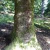 AbiesGrandis4.jpg 681 x 908 px 259.92 kB