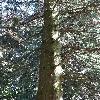 AbiesGrandis5.jpg 681 x 908 px 288.67 kB