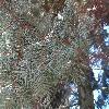 AbiesGrandis6.jpg 1219 x 914 px 307.41 kB