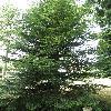 AbiesGrandis.jpg 630 x 840 px 188.78 kB