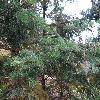 AbiesHolophylla2.jpg 1024 x 768 px 271.93 kB