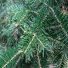 AbiesHolophylla3.jpg 1024 x 768 px 191.66 kB