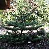 AbiesKoreana4.jpg 576 x 768 px 186.72 kB