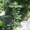AbiesKoreanaTropfstein.jpg 681 x 908 px 463.6 kB