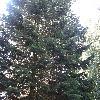 AbiesNordmanniana4.jpg 1219 x 914 px 364.53 kB