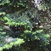 AbiesNordmanniana5.jpg 1024 x 768 px 305.72 kB