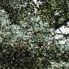 AbiesNordmanniana7.jpg 681 x 908 px 523.37 kB