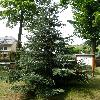 AbiesPinsapoArgentea.jpg 630 x 840 px 170.1 kB