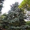 AbiesProceraArgentea.jpg 681 x 908 px 445.1 kB
