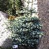 AbiesProceraDecumbensNana.jpg 768 x 872 px 265.47 kB
