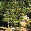 AbiesSachalinensis3.jpg 576 x 768 px 181.92 kB