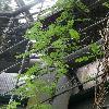 AbrusPrecatorius.jpg 681 x 908 px 349.74 kB
