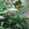 AbutilonMegapotamicum.jpg 681 x 908 px 362.7 kB