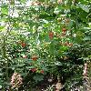 AbutilonTriumphant.jpg 634 x 845 px 178.24 kB