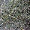 AcaciaAcuminataBurkittii2.jpg 1024 x 768 px 262.03 kB