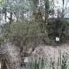 AcaciaAcuminataBurkittii.jpg 1024 x 768 px 291.02 kB