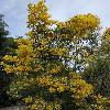 AcaciaBoormanii.jpg 800 x 1200 px 563.1 kB