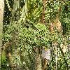 AcaciaCornigera4.jpg 1024 x 768 px 274.74 kB