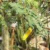 AcaciaCornigera5.jpg 1024 x 768 px 181.31 kB