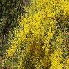 AcaciaFimbriata.jpg 1200 x 800 px 560.28 kB