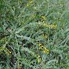 AcaciaGlaucoptera.jpg 1200 x 900 px 586.84 kB