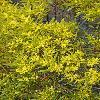 AcaciaLongifolia.jpg 797 x 1200 px 587.62 kB