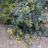 AcaciaPodalyriifolia3.jpg 1024 x 768 px 284.64 kB