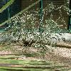 AcaciaPodalyriifolia.jpg 637 x 849 px 169.63 kB