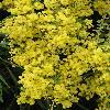 AcaciaVestita3.jpg 600 x 800 px 422.29 kB