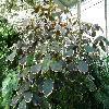 AcalyphaWilkesiana.jpg 1127 x 845 px 259.75 kB