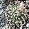 AcanthocalyciumKlimpelianum.jpg 1129 x 847 px 265.3 kB