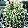 AcanthocalyciumSpiniflorumViolaceum.jpg 1129 x 847 px 247.59 kB