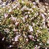 AcantholimonAndrosaceum.jpg 1092 x 819 px 295.89 kB
