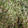AcantholimonGlumaceum.jpg 1127 x 845 px 366.22 kB