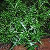 AcanthusMontanus.jpg 576 x 768 px 177.44 kB